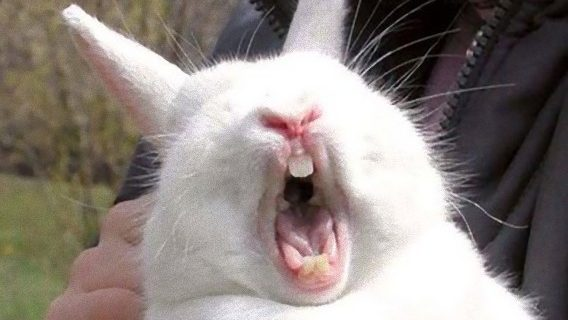 Не смотри на зевающего кролика