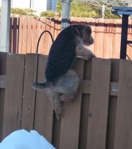 Добавим авантюры: собачка пытается сбежать через забор