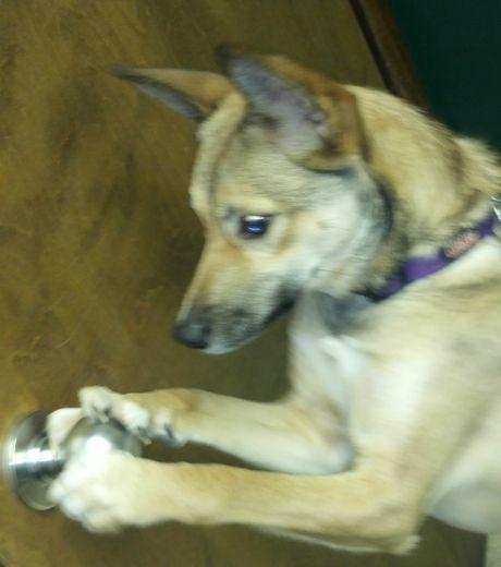 Эта собака достаточно шпионила за хозяевами, она теперь знает, как сбежать: достаточно открыть дверь, повернув рукоятку.