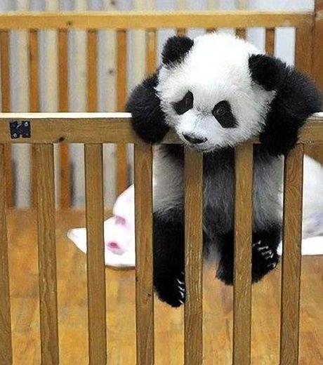 Ради свободы панда вскарабкалась на загородку