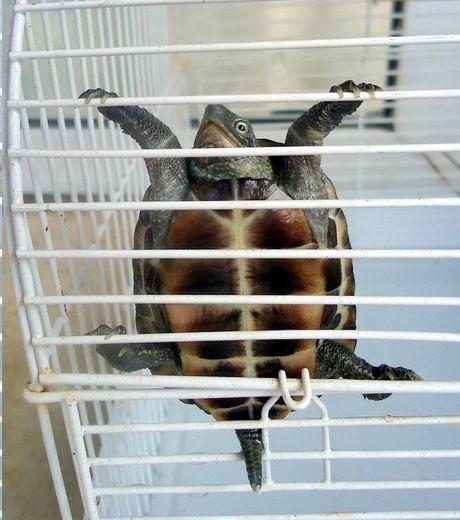 А вы тоже не знали, что черепахи умеют карабкаться?