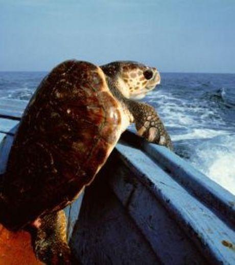 Ради свободы черепаха готова плюхнуться в воду