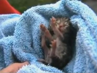 В штате Орегон родился котенок с двумя головами