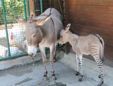 Во Флоренции родился зебросёл