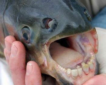 Рыба паку