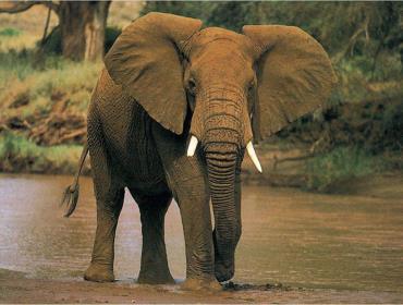 Слоны «помогли» родить