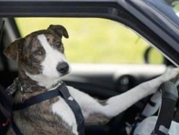 Пьяный водитель «перевел стрелки» на собаку