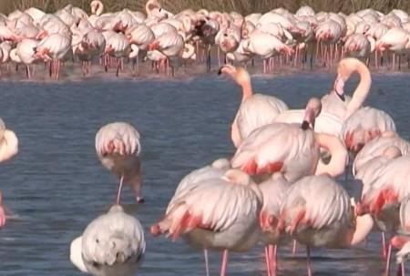 Брачные игры фламинго
