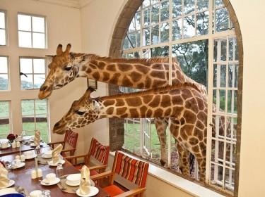 Завтрак в компании пары жирафов