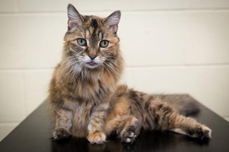 Самая громкая кошка в мире?