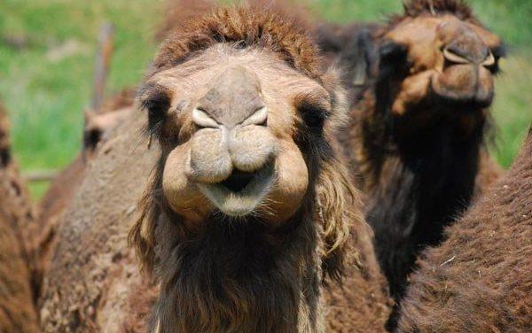 Верблюдов отстранили от конкурса красоты из-за ботокса
