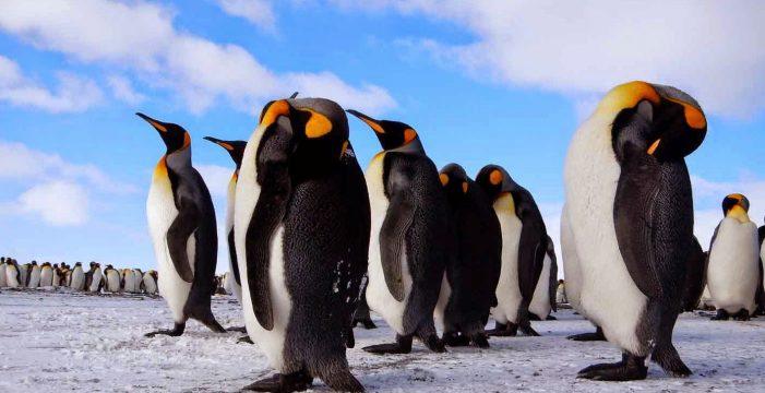 В Канаде замерзли пингвины